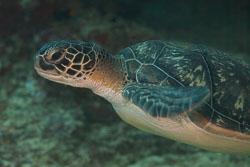 BD-150420-Maldives-7378-Eretmochelys-imbricata-(Linnaeus.-1766)-[Hawksbill-turtle.-Karettsköldpadda].jpg